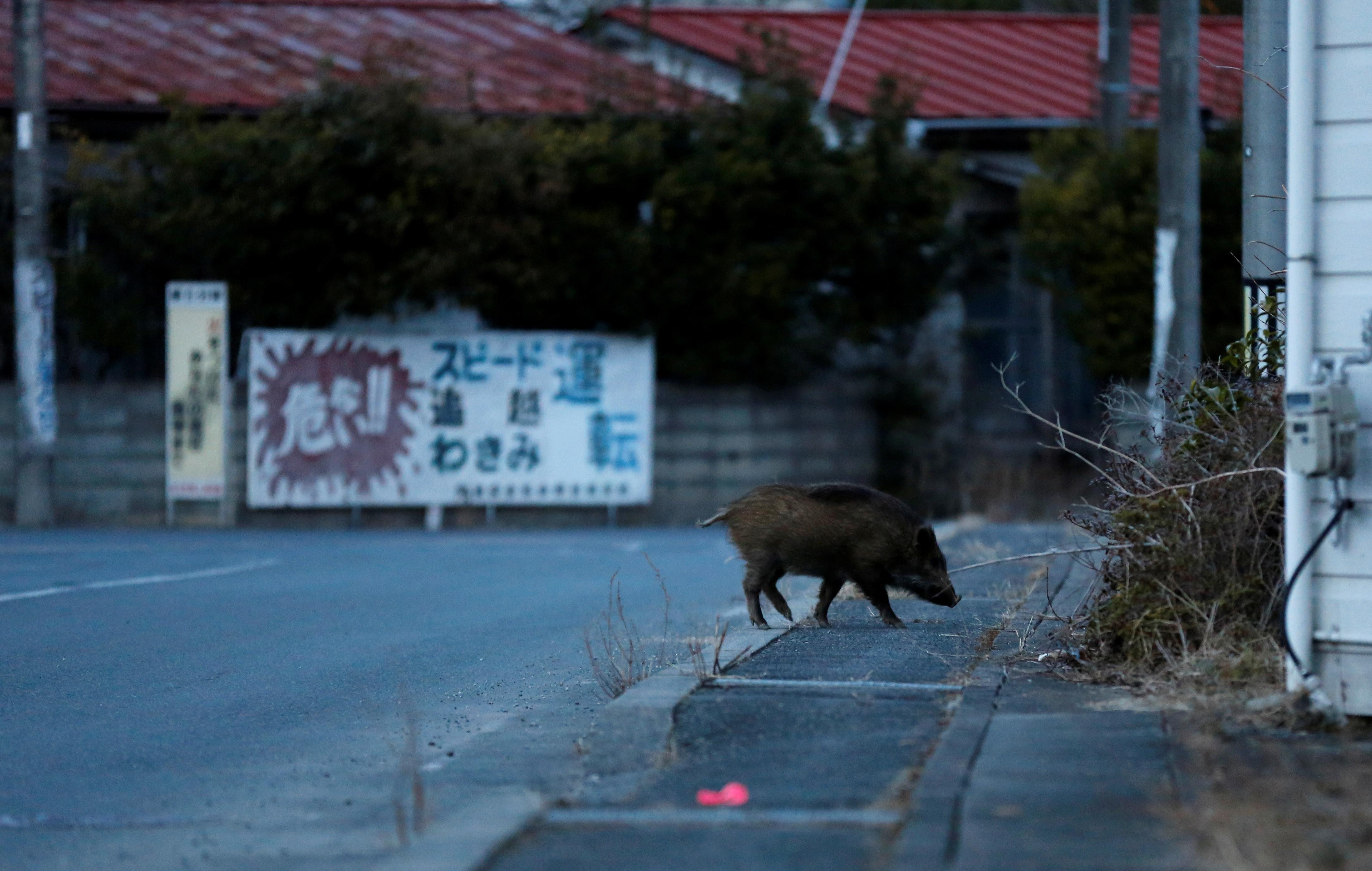 Vicious radioactive boars pose danger to residents returning to Fukushima evacuation zones