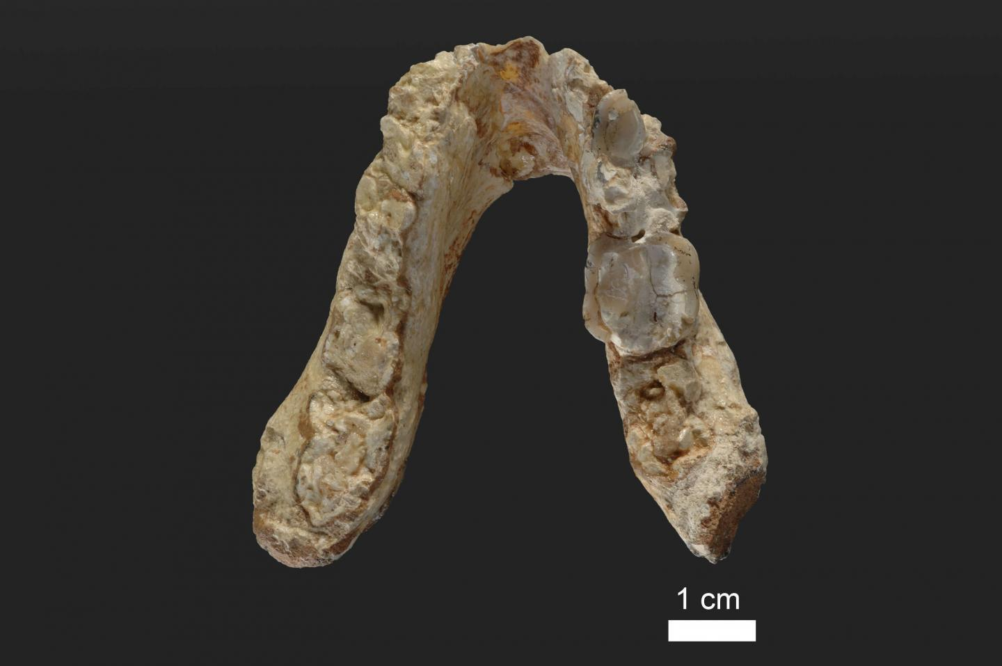Missing link may have been European, not African, ancient fossils suggest