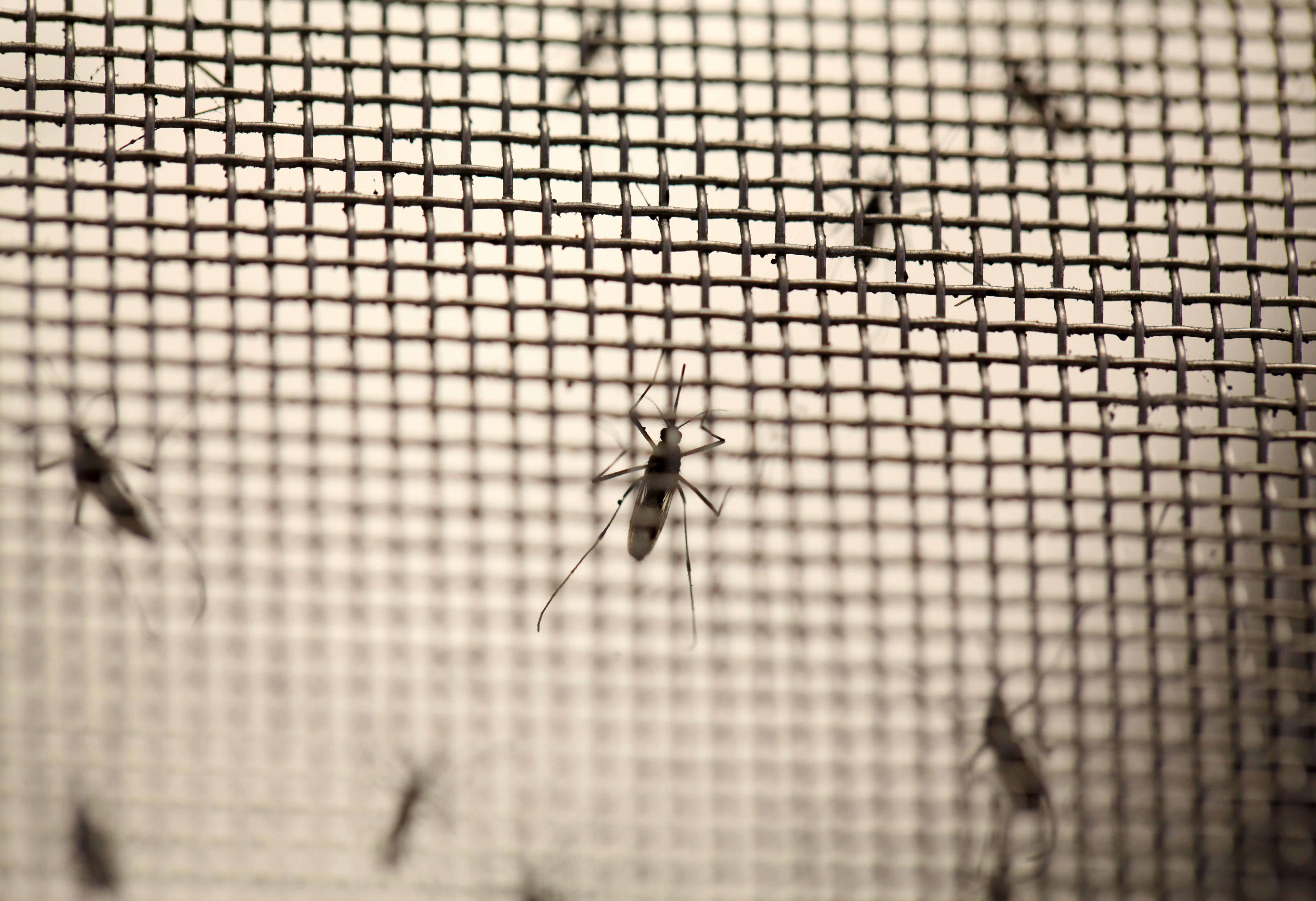 Aedes aegypti mosquitoes