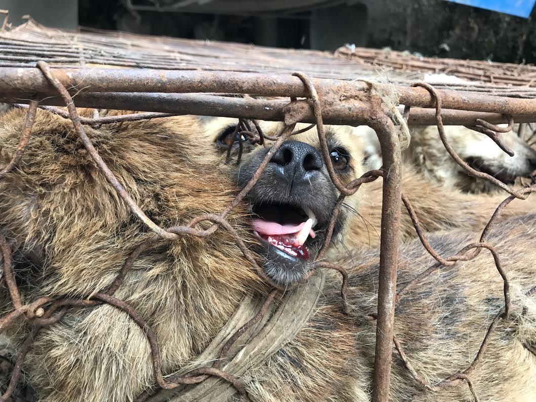 Dogs Yulin China Meat