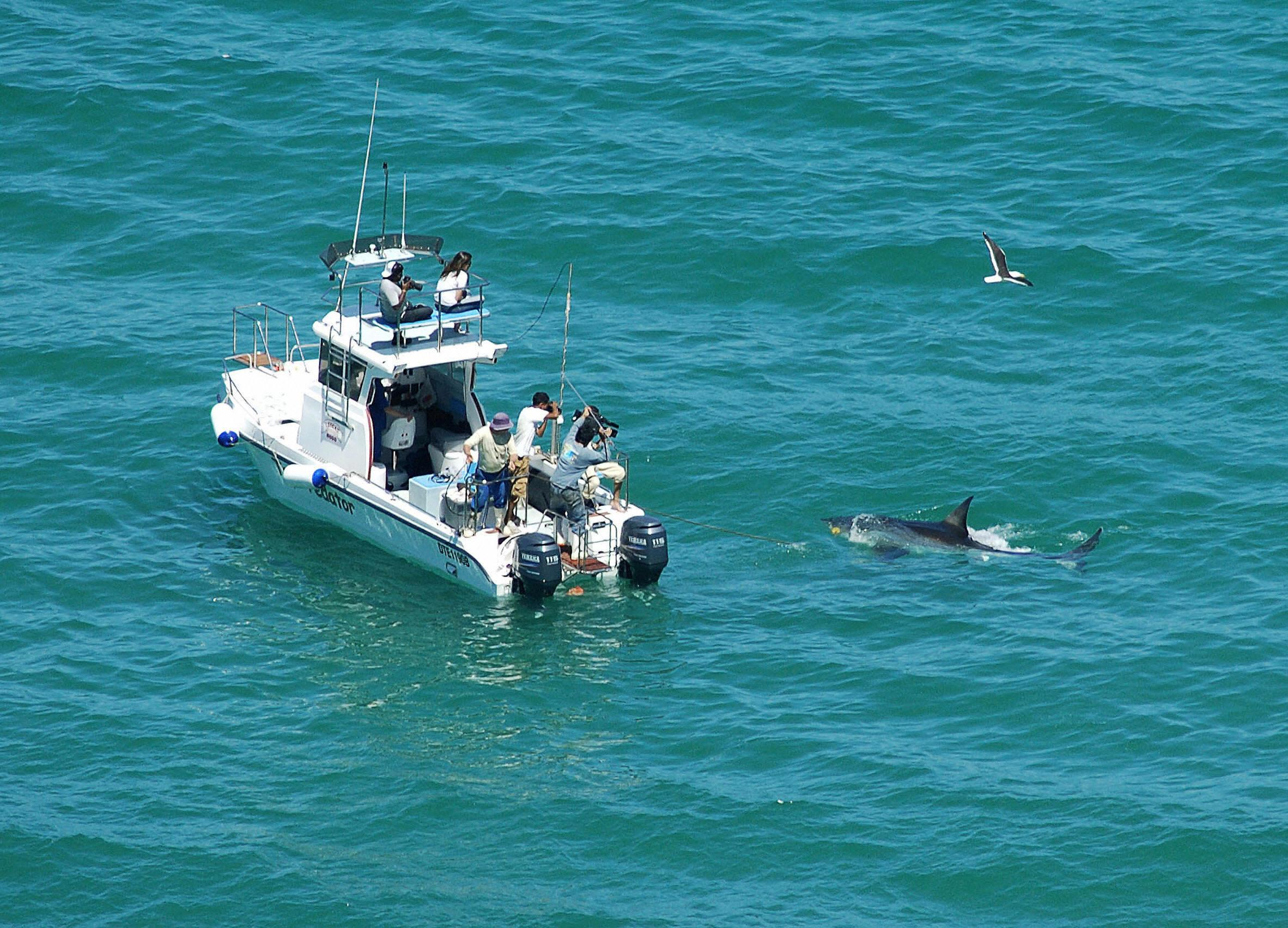 The Coming Crisis: Great White shark lurking off Cape Cod