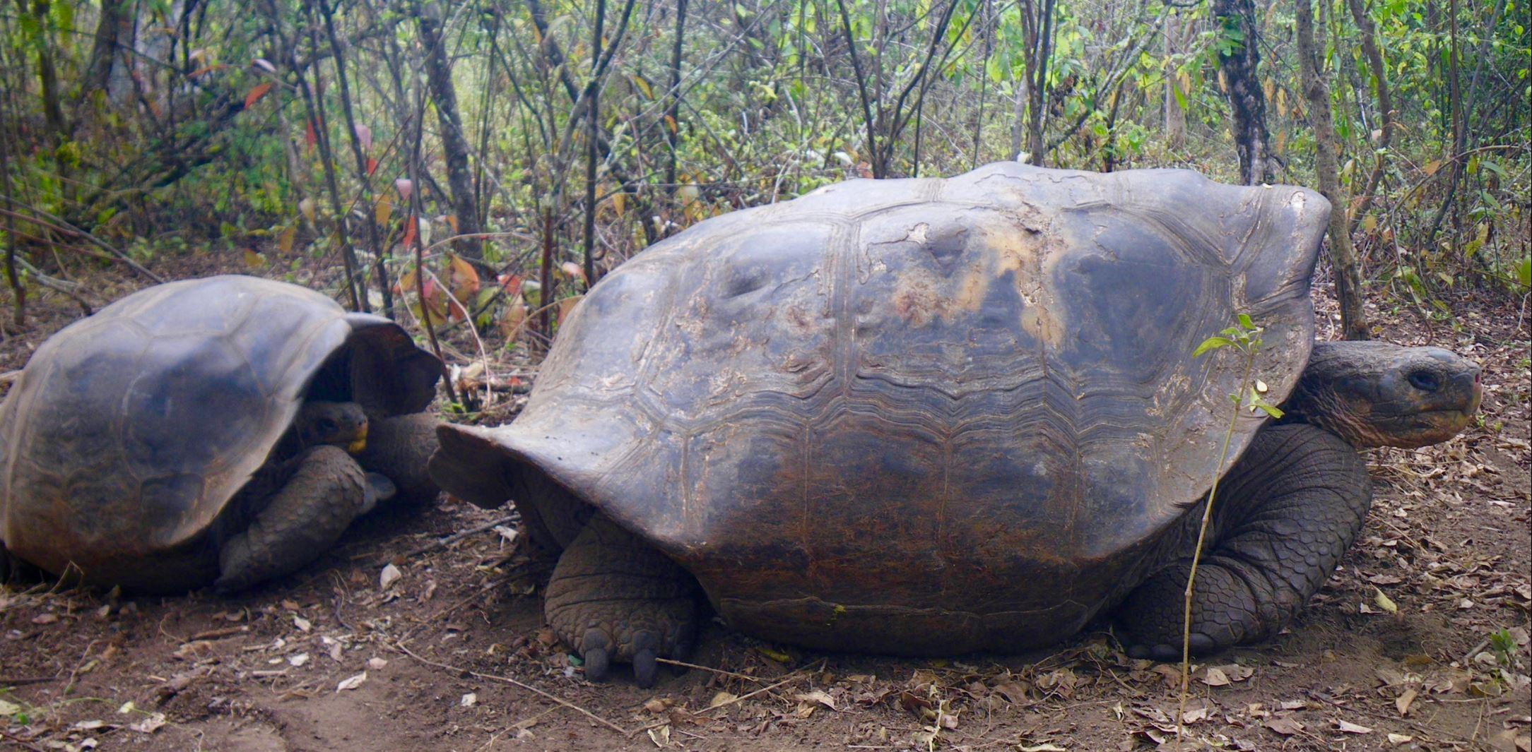 Galápagos-tortoise-juvenile-and-adult