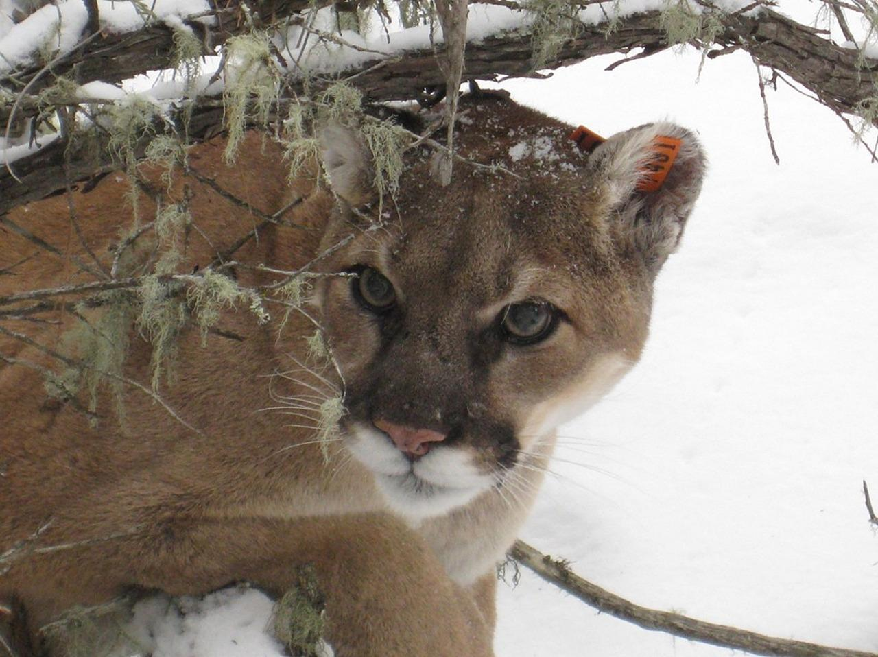 Cougar On Porch Of Brookfield, Wisconsin, Home