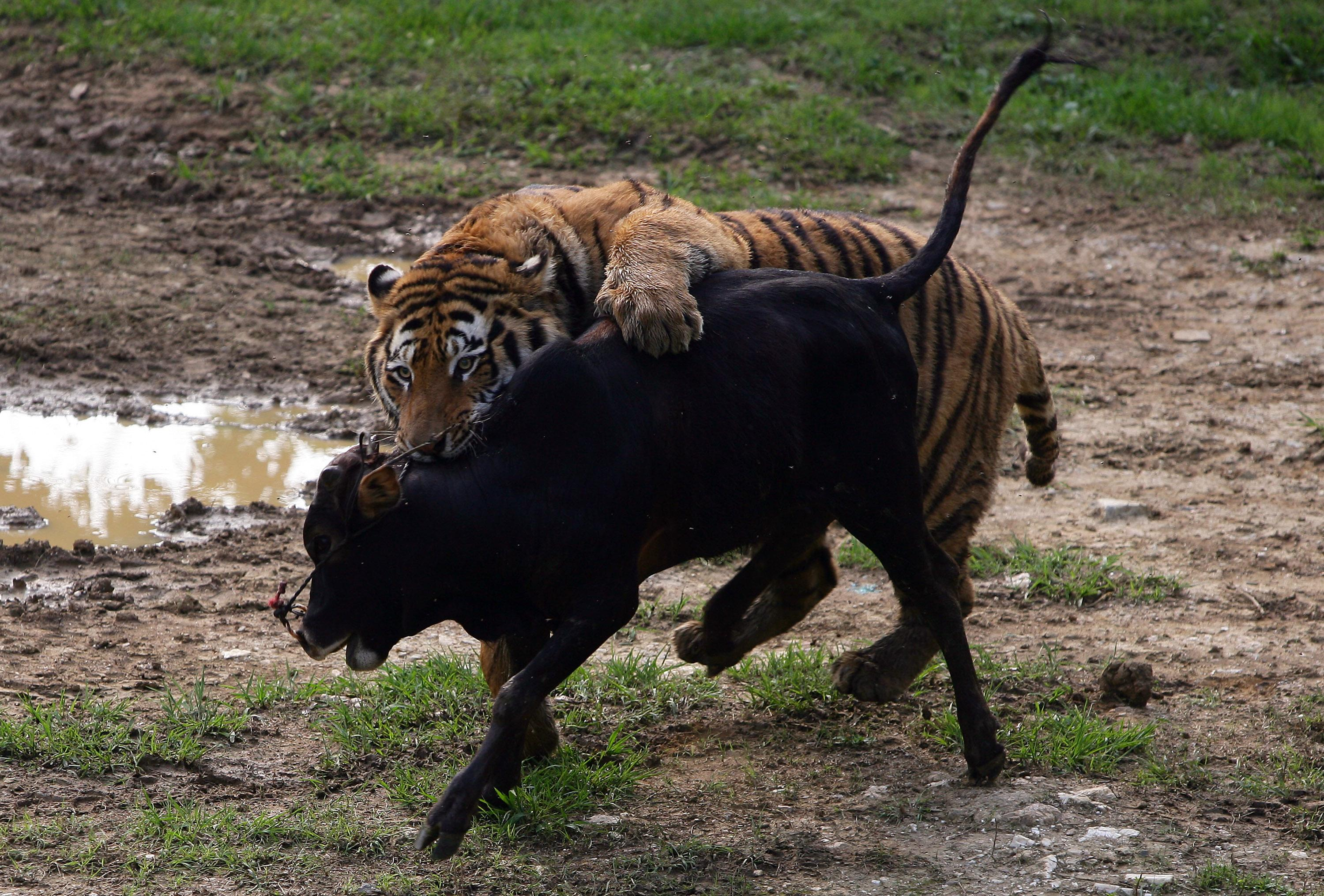 Just A Wednesday Afternoon Fight Between A Tiger And A Bear
