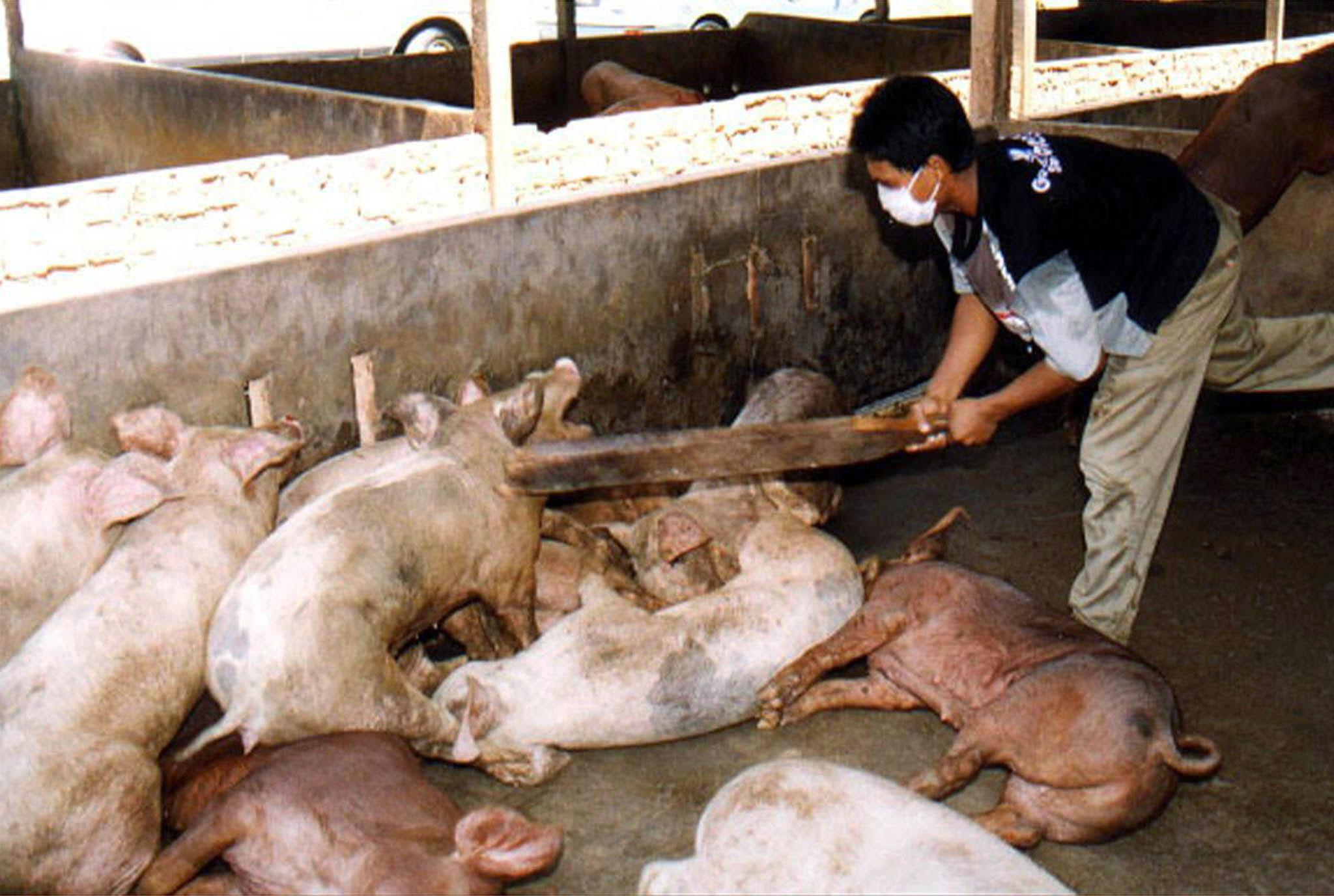 Nipah Virus Pigs