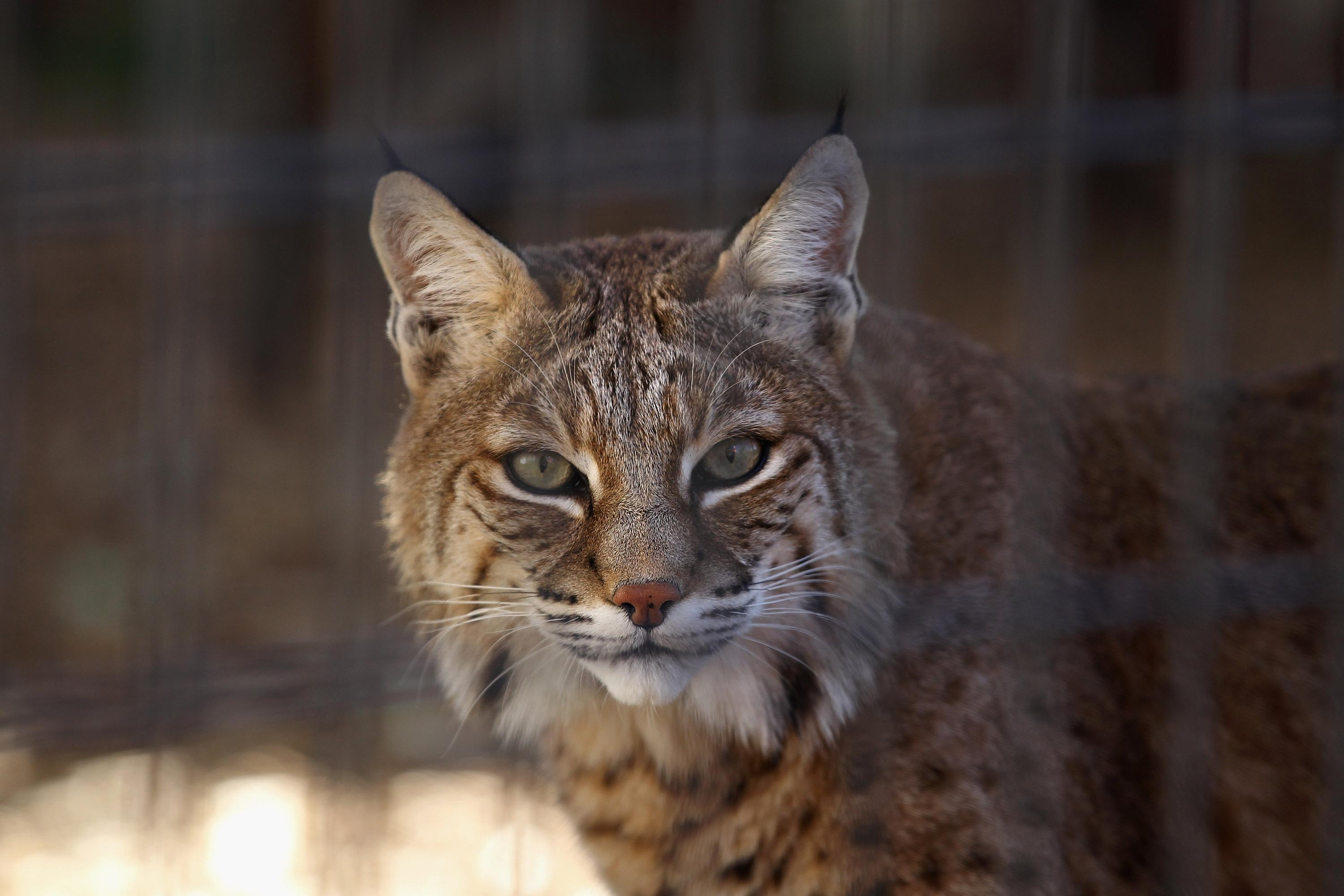 Georgia woman strangles rabid bobcat while her young granddaughter slept