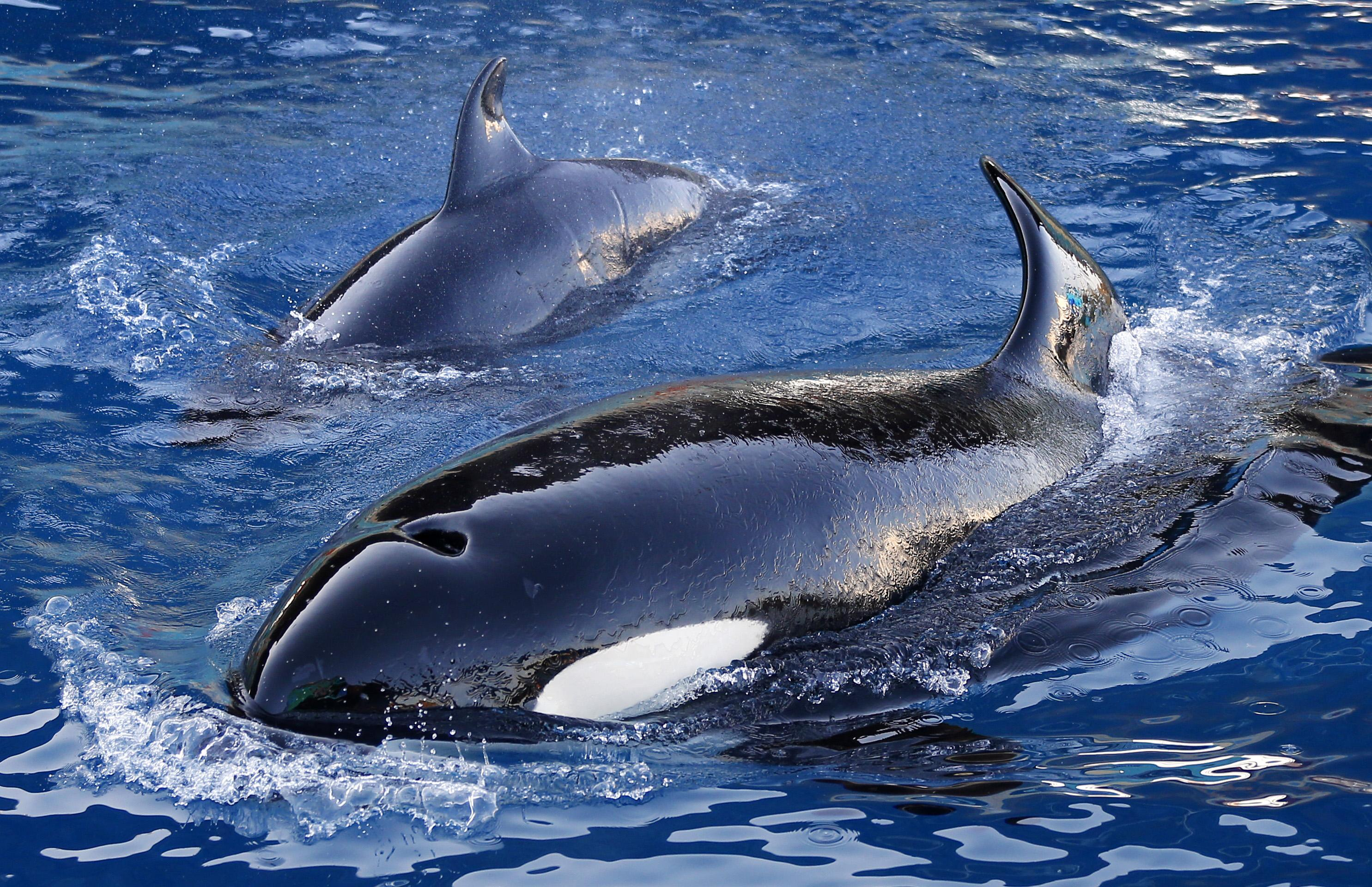Spectacular footage of swimmer surrounded by killer whales