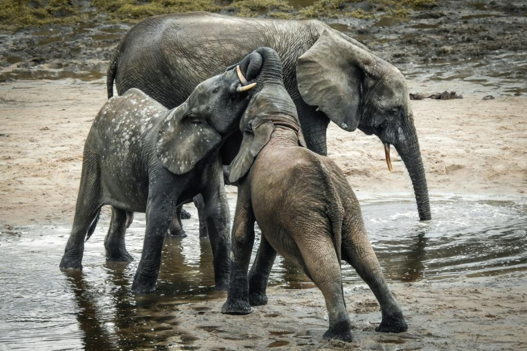 A forest elephant and her calves take a cooling bath in the mud