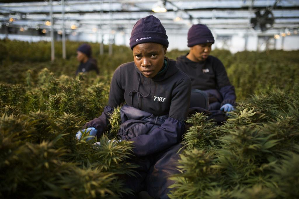 The global market for medical cannabis is currently estimated at $150 billion (135 billion euros) and could reach $272 billion in 2028, according to Barclays Bank