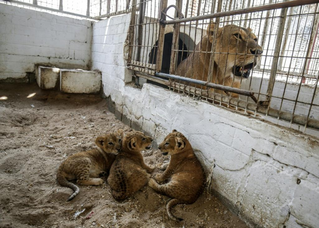 The zoo's manager says the lions were brought through tunnels from Egypt