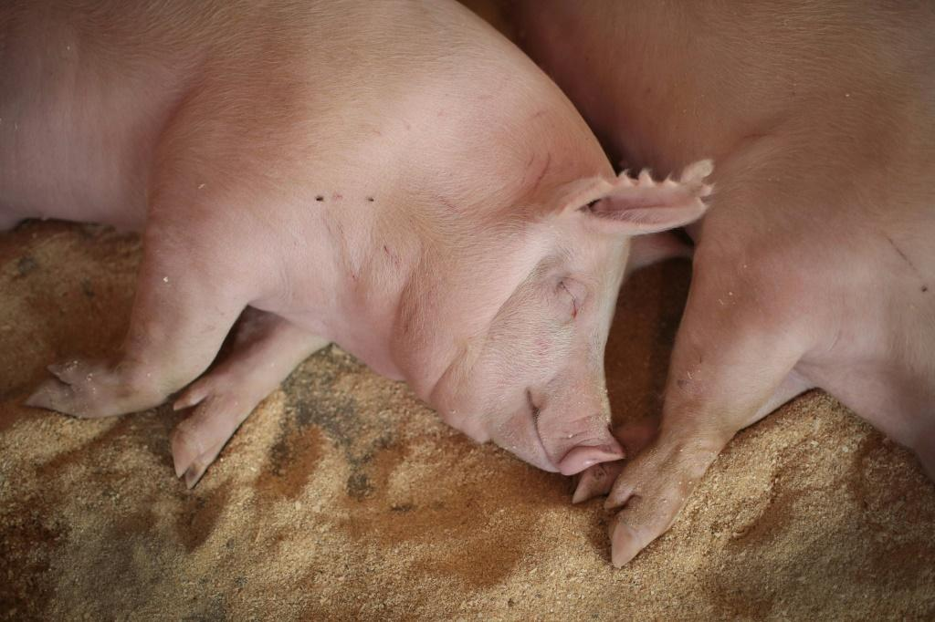 China, which has been hit by an outbreak of African swine fever, said it had bought a 'considerable' amount of US pork