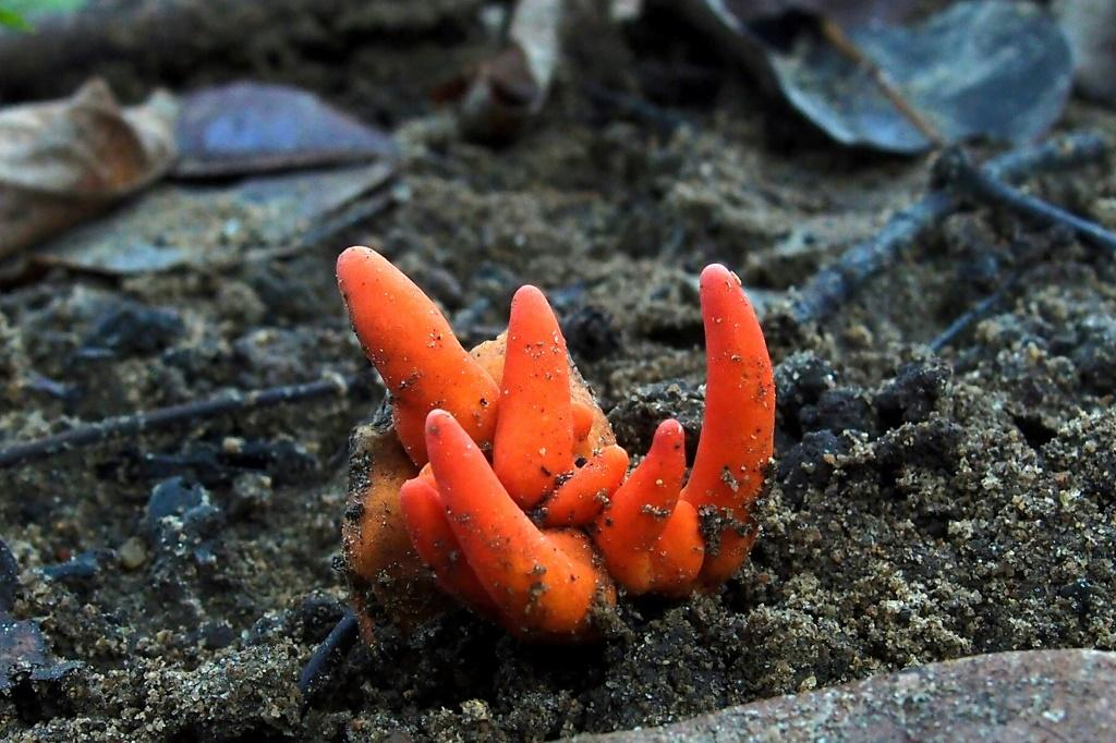 Poison Fire Coral is the only known mushroom with toxins that can be absorbed through the skin, and causes a 'horrifying' array of symptoms if eaten