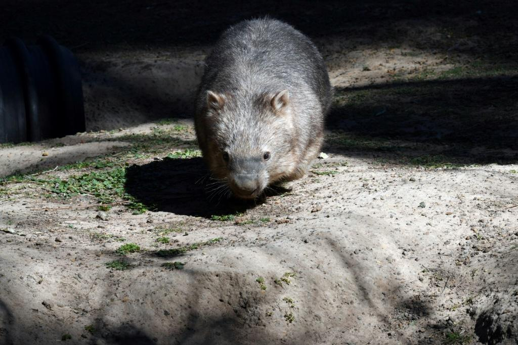 Squat and furry, wombats are a protected species across Australia