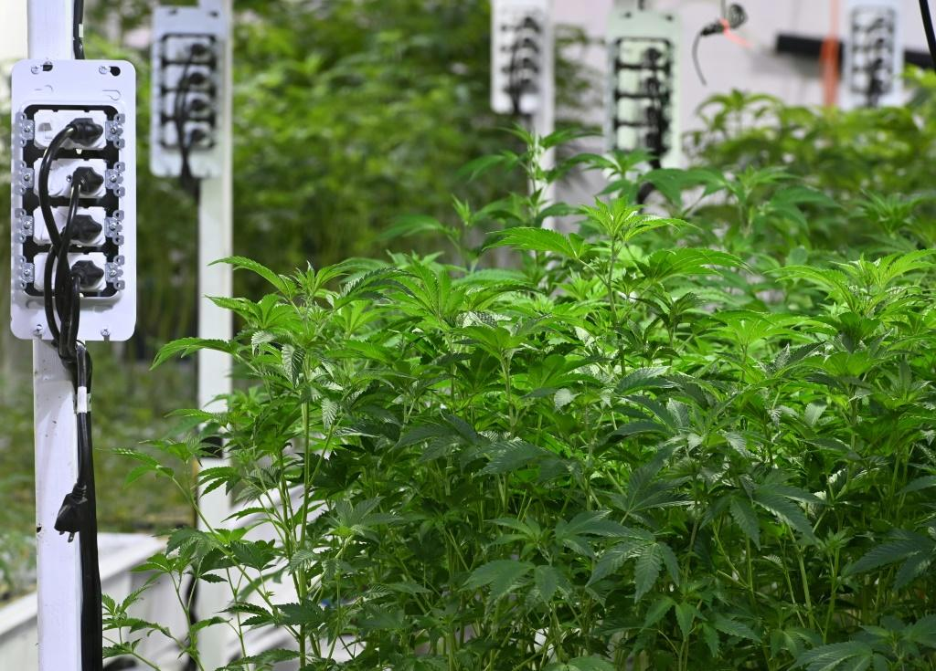 Marijuana plants grow at a dispensary in Los Angeles