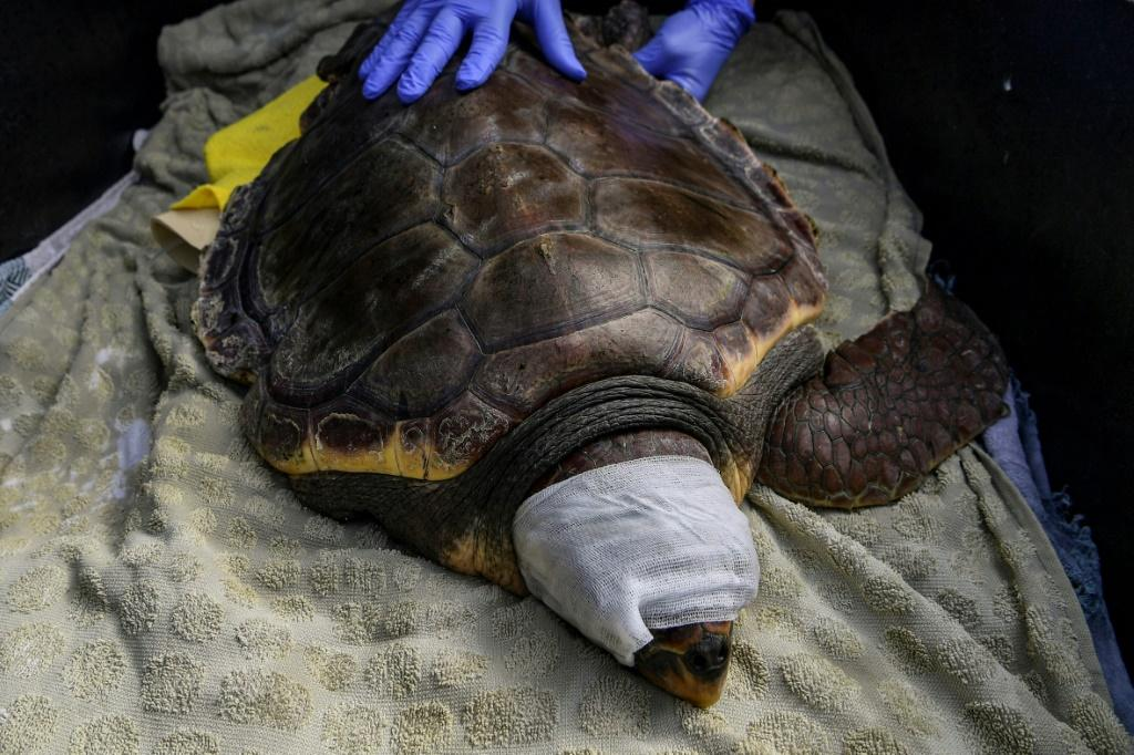 The turtles ingest fishhooks and plastic debris but more than half of their injuries are caused by humans
