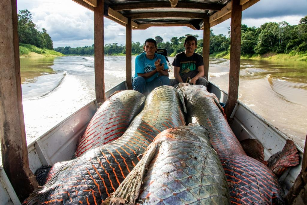 The pirarucu population has soared thanks to a sustainable fishing program in place in Brazil's Amazon