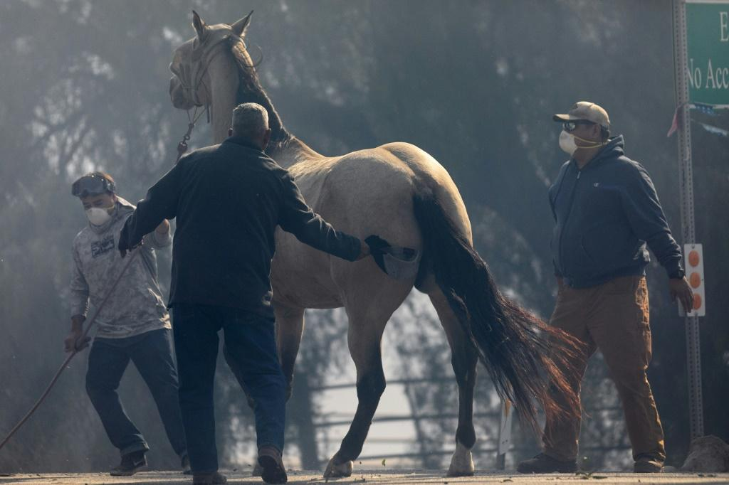 A horse is evacuated from the Easy Fire on October 30, 2019 near Simi Valley, California