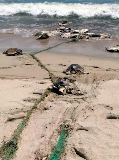More than 300 endangered sea turtles were killed in a single incident last year after swimming into a what was believed to be a discarded fishing net in southern Mexico
