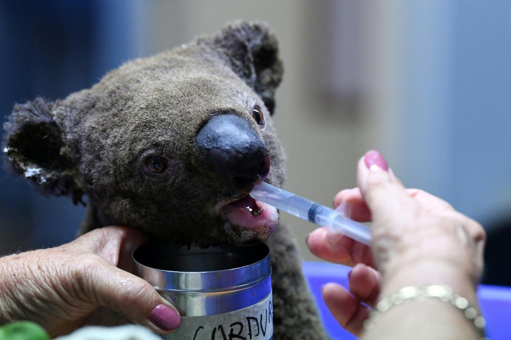 Native wildlife has also been badly hit by the bushfires, with conservationists estimating that hundreds of koalas have perished