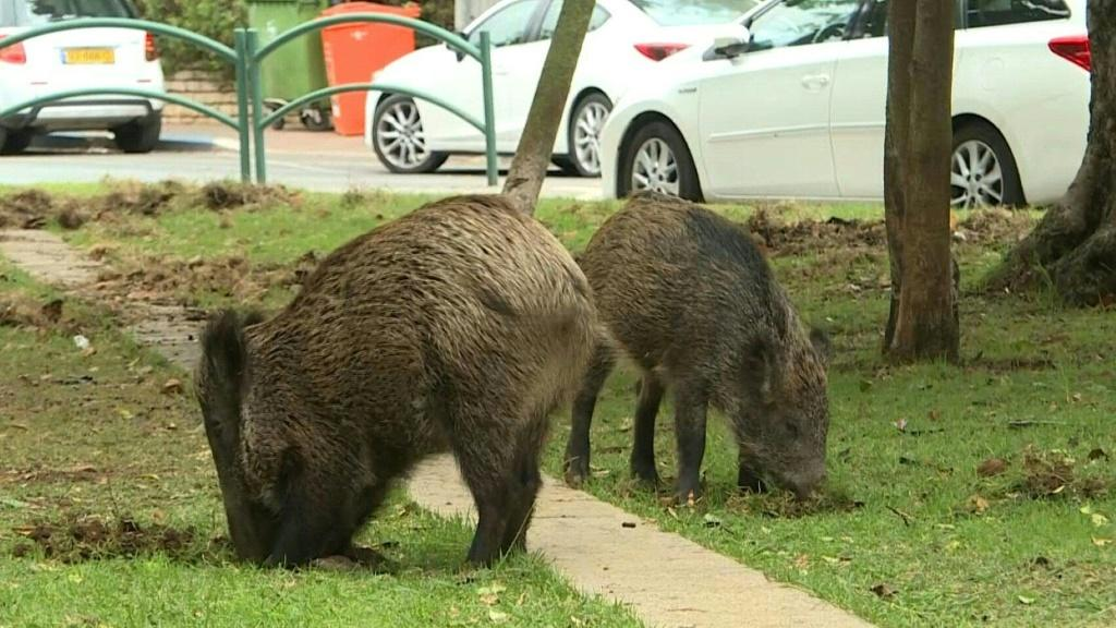 Dozens of wild pigs have taken up residence in northern Israel's coastal city of Haifa since the city banned culling.