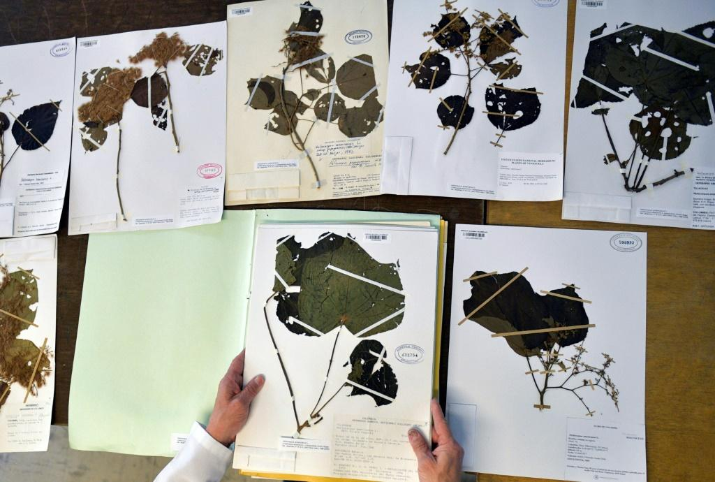 Colombian botanist Julio Betancur shows off his collection of plant samples