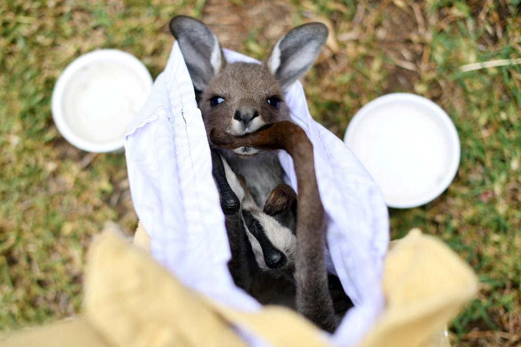 Veterinary surgeons said they have come across koalas, birds, wallabies and possums suffering from not just burns, but respiratory problems