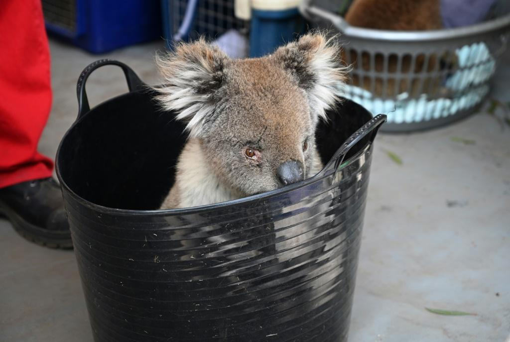 An injured koala waits to be treated on Kangaroo Island