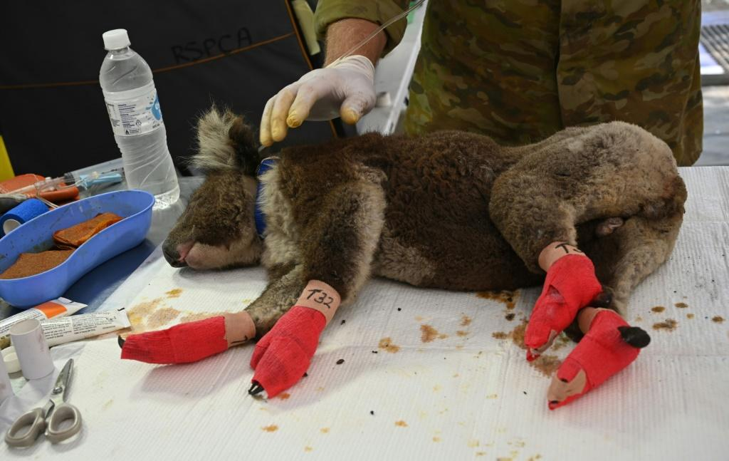An injured koala with bandaged paws after being treated at the makeshift field hospital on Kangaroo Island