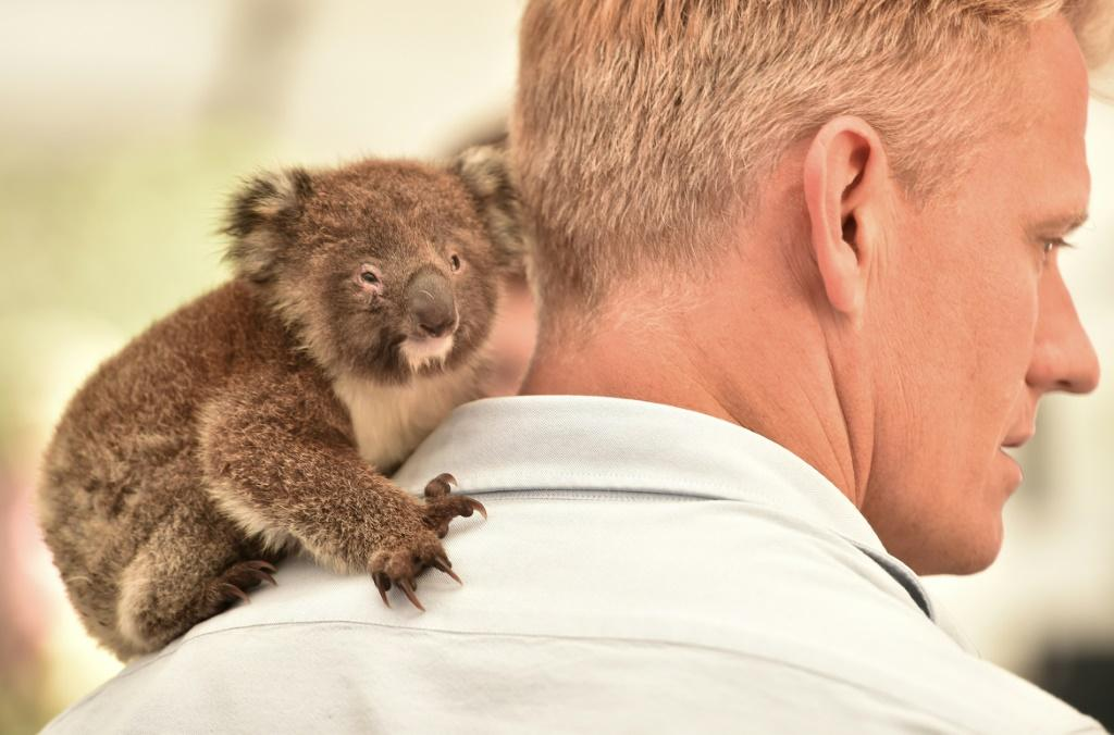 An orphaned baby koala clings to the shoulder of a vet at a makeshift field hospital at the Kangaroo Island Wildlife Park