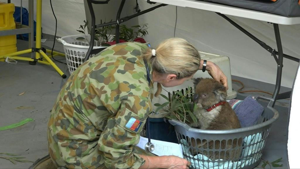 Dozens of koalas injured in Australia's bushfires arrive at the Kangaroo Island Wildlife Park's makeshift animal hospital each day in cat carriers, washing baskets or clinging to wildlife carers.