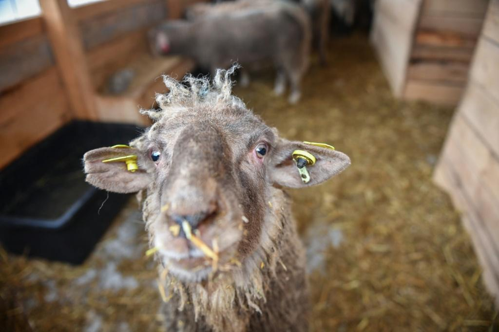 One of the 180 sheep saved from a capsized ship who will be able to live out their days after an outpouring of sympathy from the Romanian public