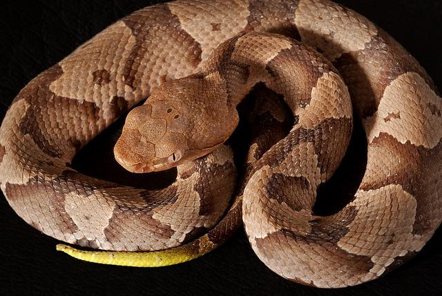 southern-copperhead-1329055_640