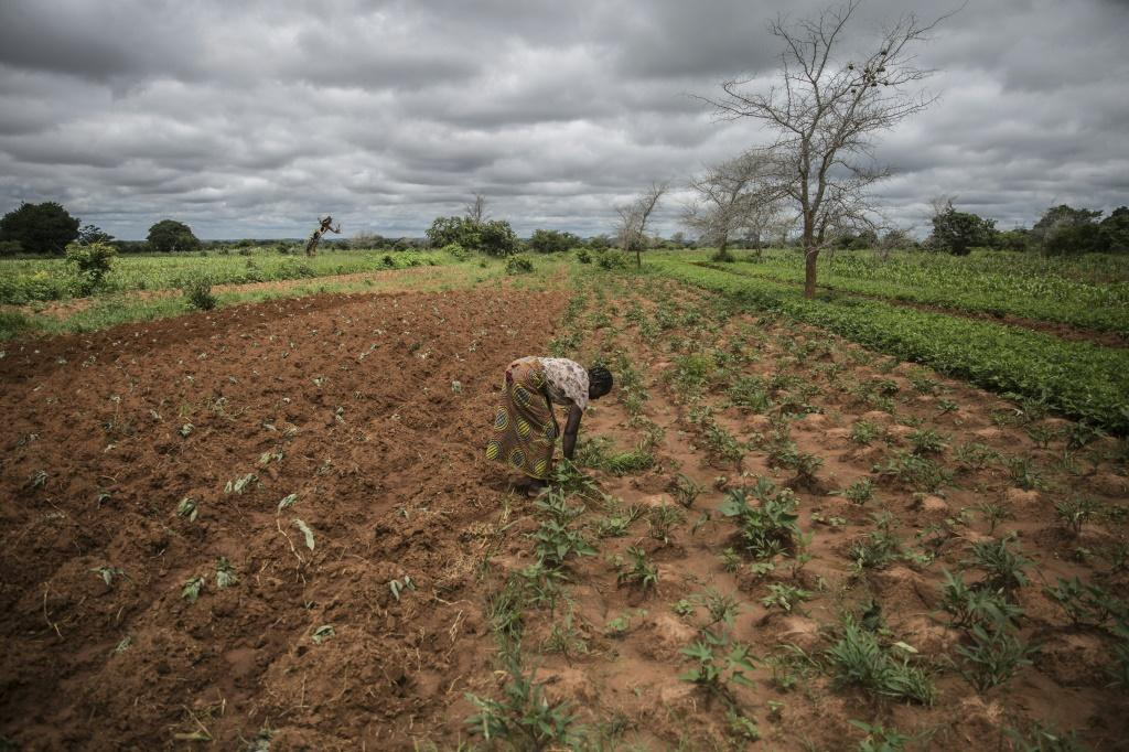 Climate resilience: Small farmer and single mother Imelda Hicoombolwa sows cowpeas and other crops that are less thirsty than corn -- they have a better chance of surviving in the relentless drought