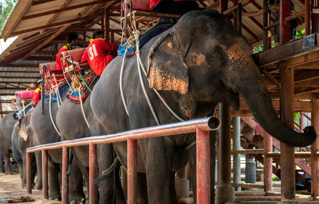 Business is also slow at the Chang Siam Elephant Park in Pattaya, a few hours south of Bangkok