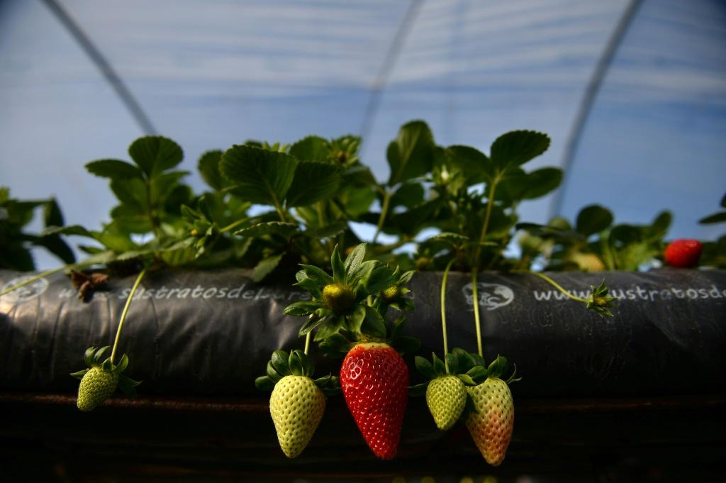 Huelva province produces 90 percent of red fruit crops in Spain, which is the world's top strawberry exporter