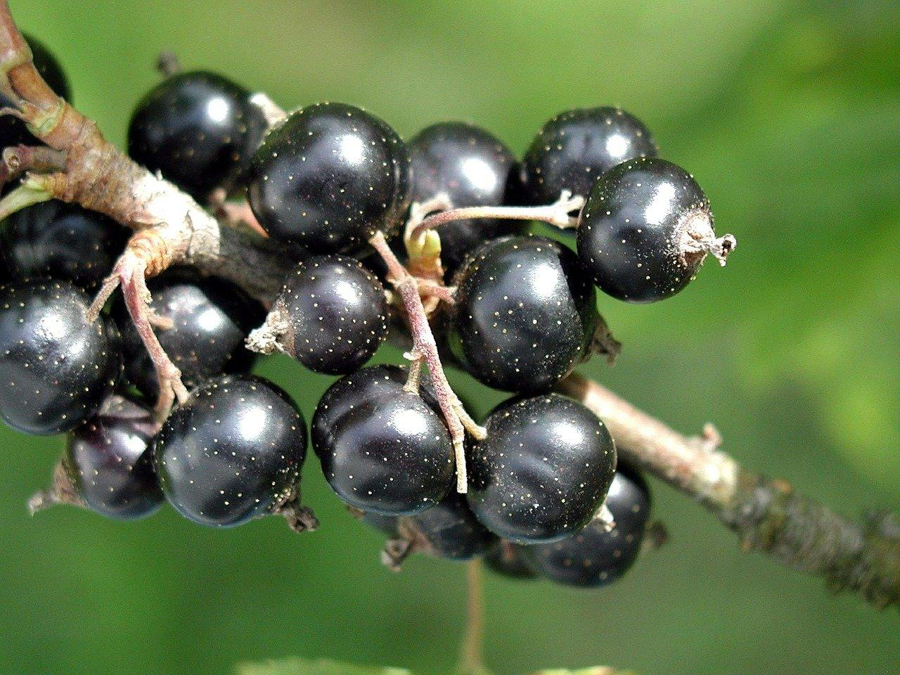 blackcurrant can help boost body's anti-viral defenses