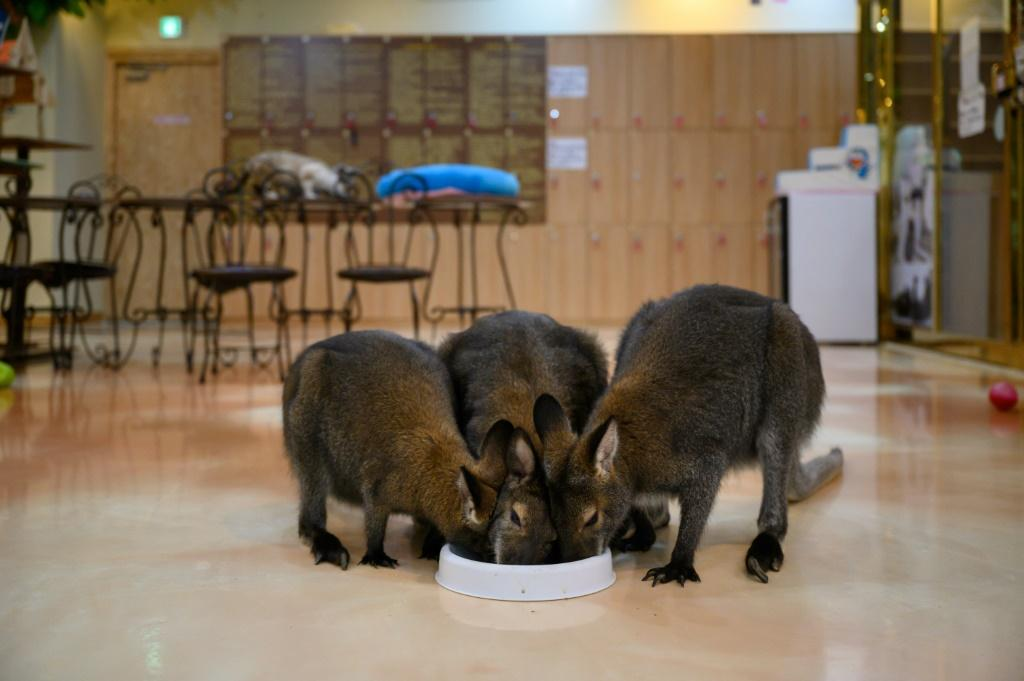 Wallabies are among the more exotic creatures at South Korea's animal cafes