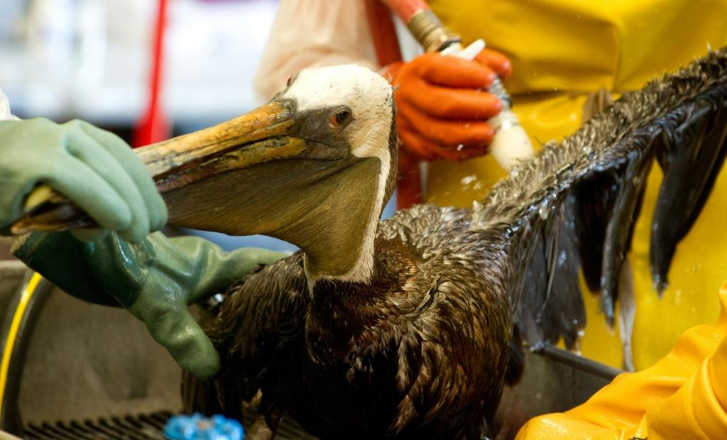 In this file photo taken on June 08, 2010, veterinarians clean an oil-covered brown pelican found off the Louisiana coast and affected by the BP