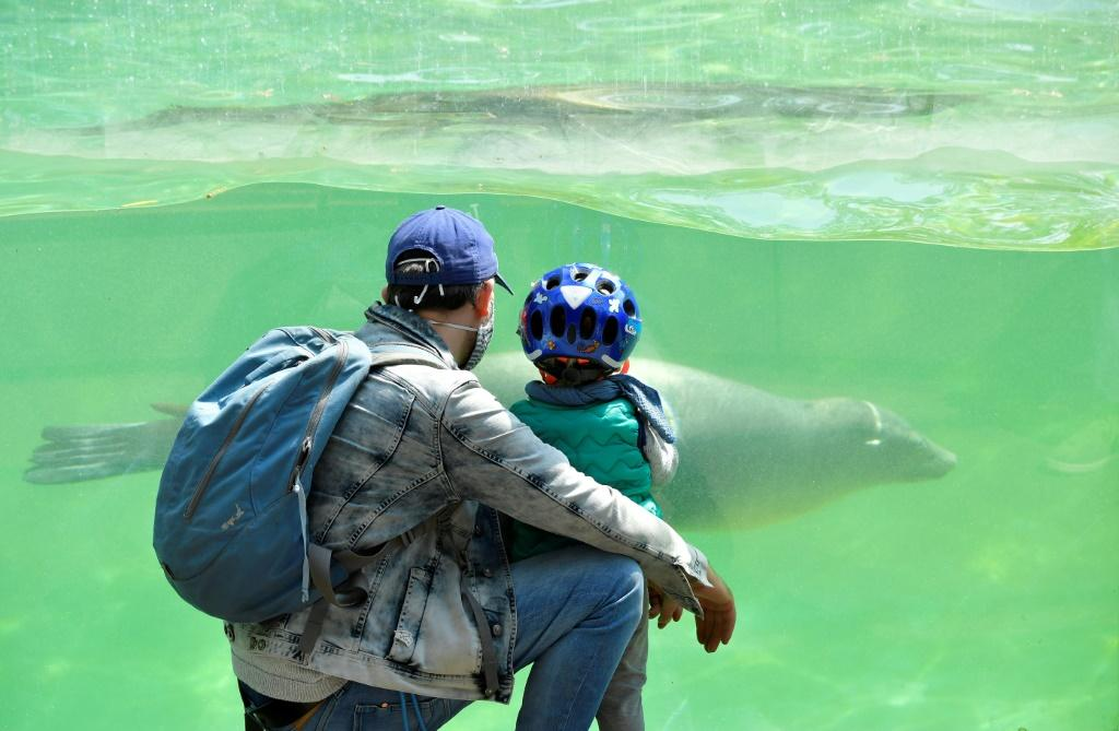 A man wearing a face mask and his child observe a California Sea Lion at Berlin's Zoo as it partially reopens for the public