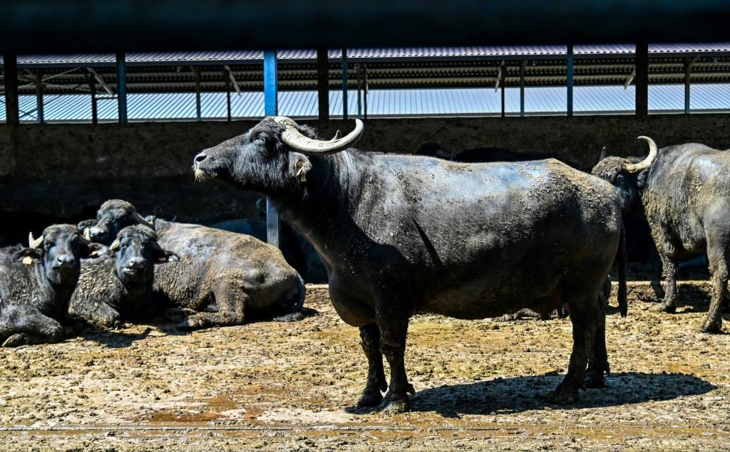 The milk of black buffaloes is used to make mozzarella cheese