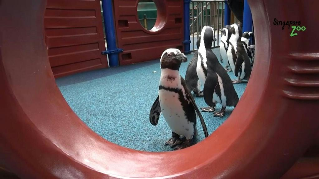 Penguins in Singapore zoo are regularly being taken out for walks around the deserted zoo during the city-state's partial coronavirus lockdown