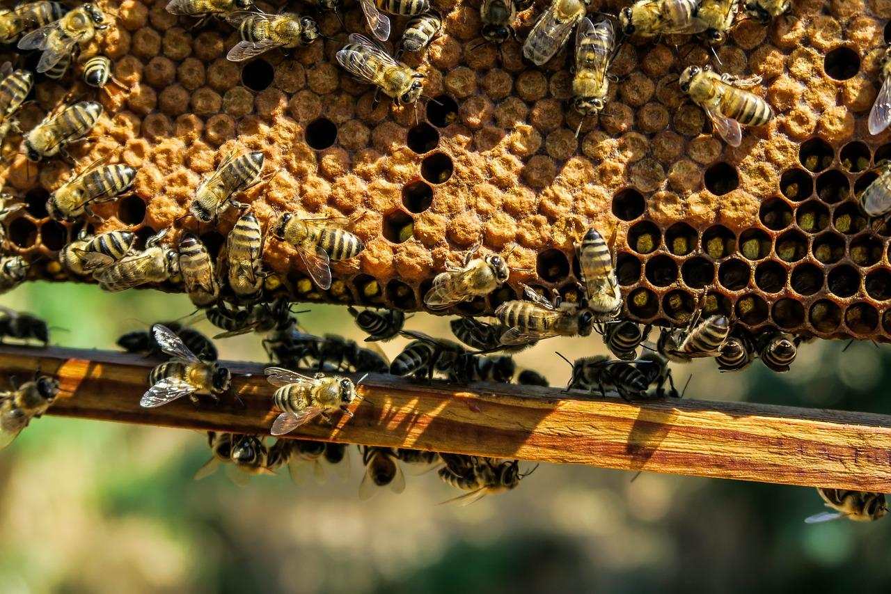 Japanese honeybees defend themselves from murder hornets by cooking them