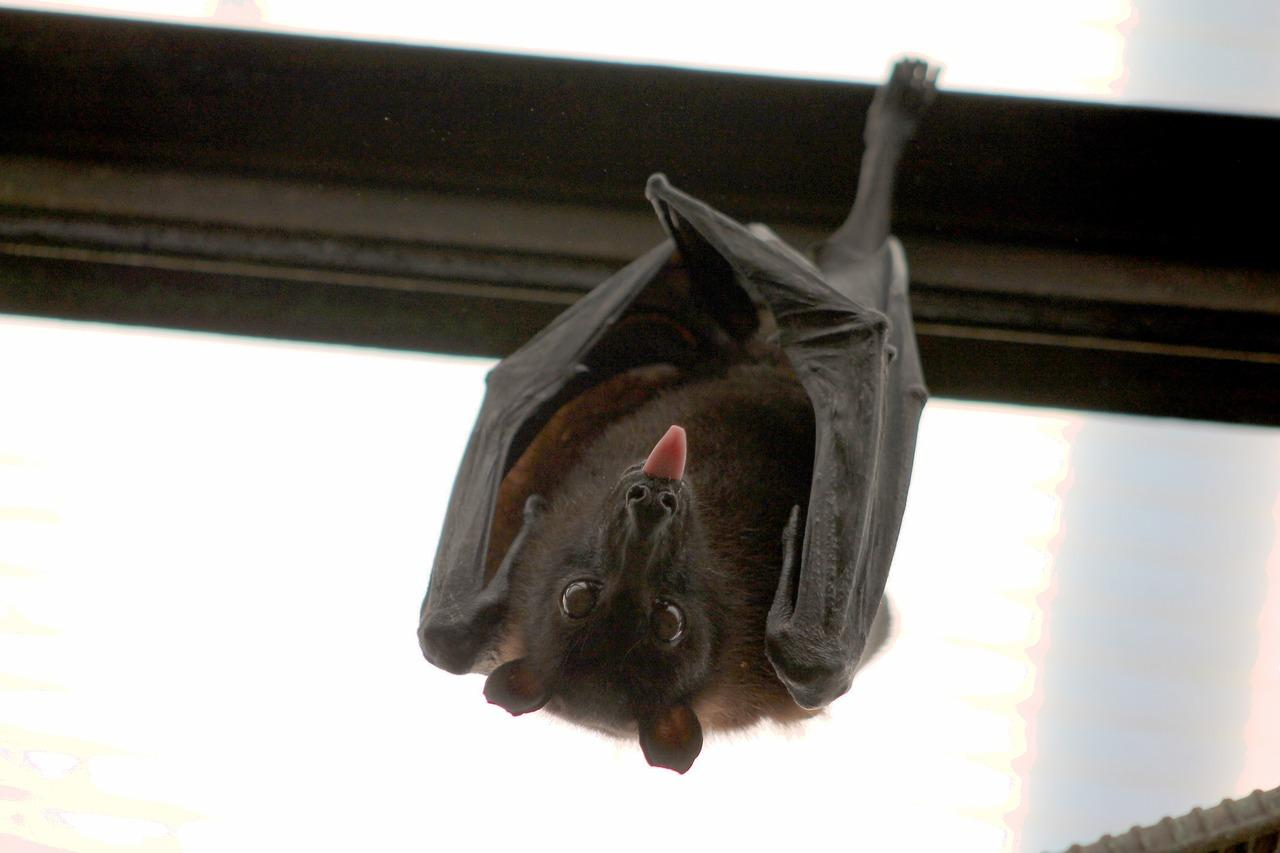 scientists discovered bats super immunity, giving it ability to carry coronaviruses without being killed in the process