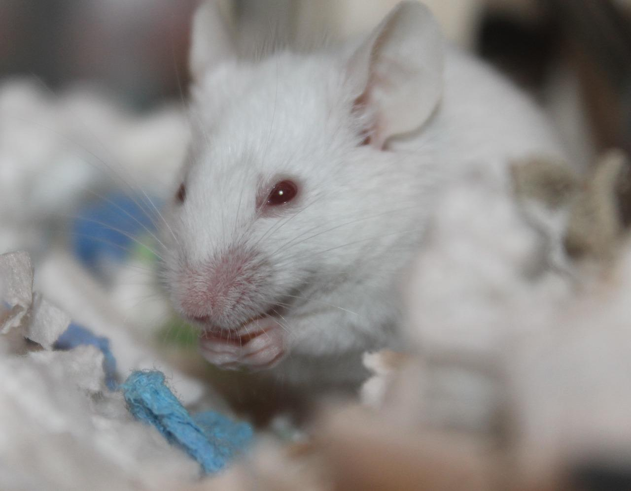 scientists discover how to prevent obesity in mice