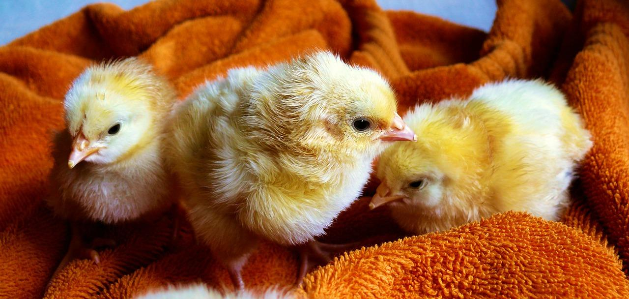 cdc issues warning against kissing and cuddling chicks and ducklings due to salmonella outbreak
