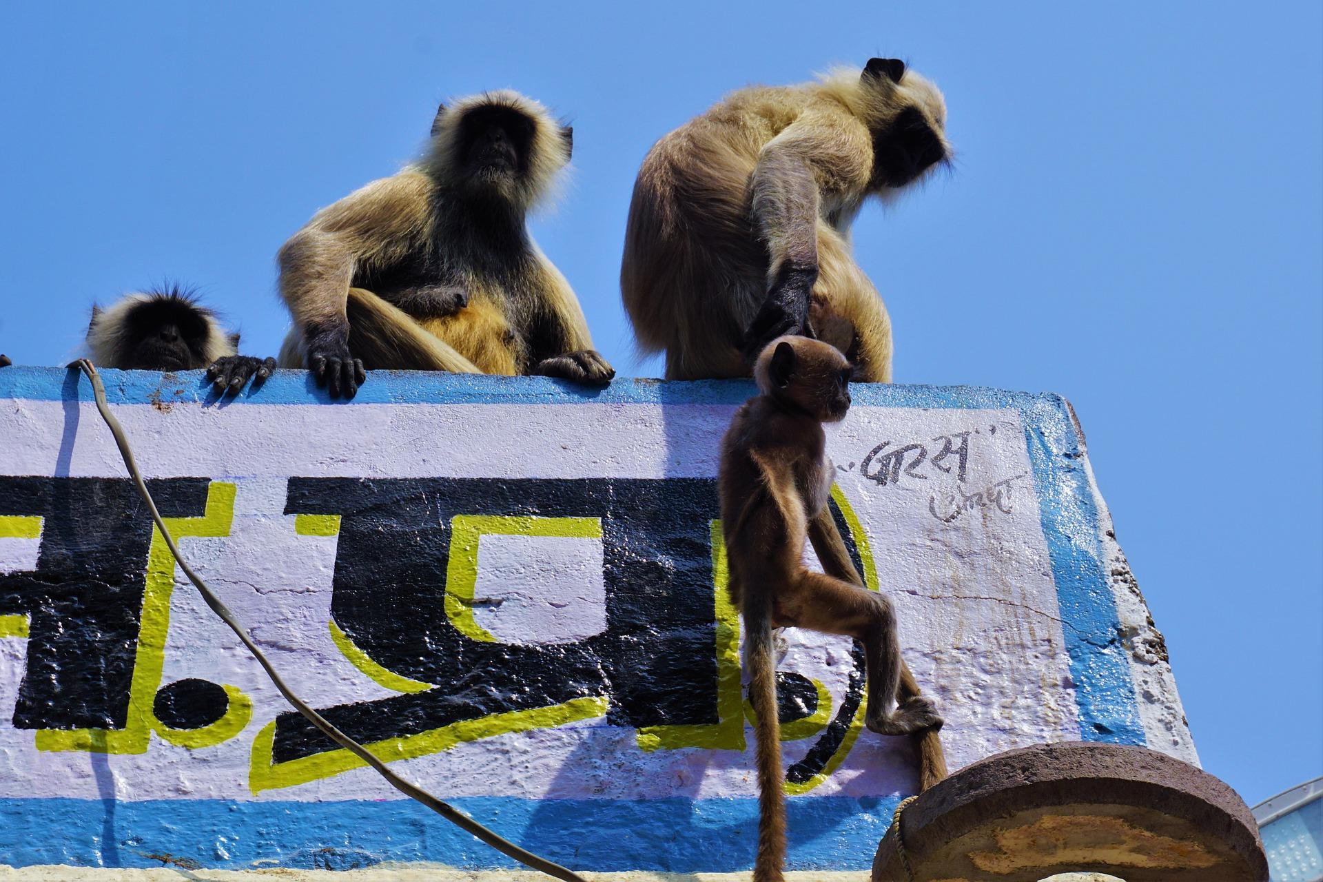 Monkeys in India attacked medic and stole coronavirus tests