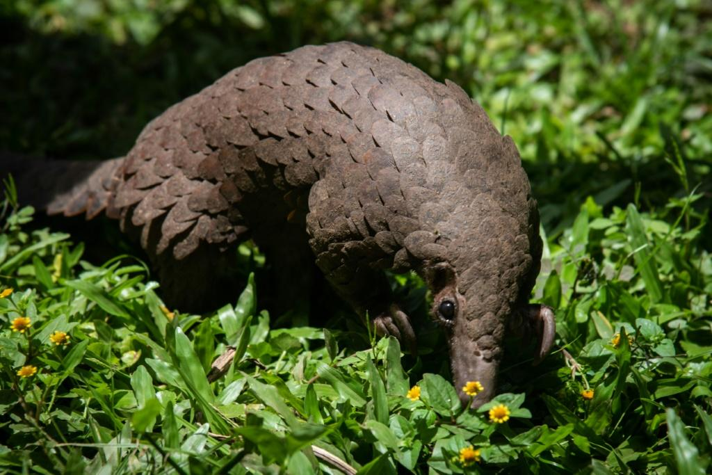 China has removed pangolin parts from its list of traditional medicines -- the animal is thought by some scientists to be the possible host of the novel coronavirus