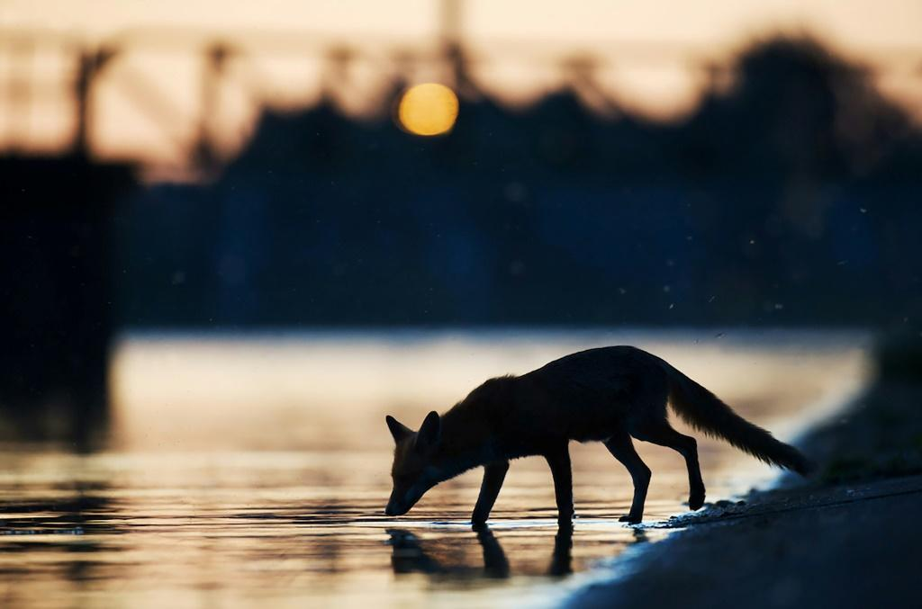 Handout photo from Wild Wonders of Europe shows an urban fox (Vulpes vulpes) drinking water in the sunset in an industrial part of London in May 2009
