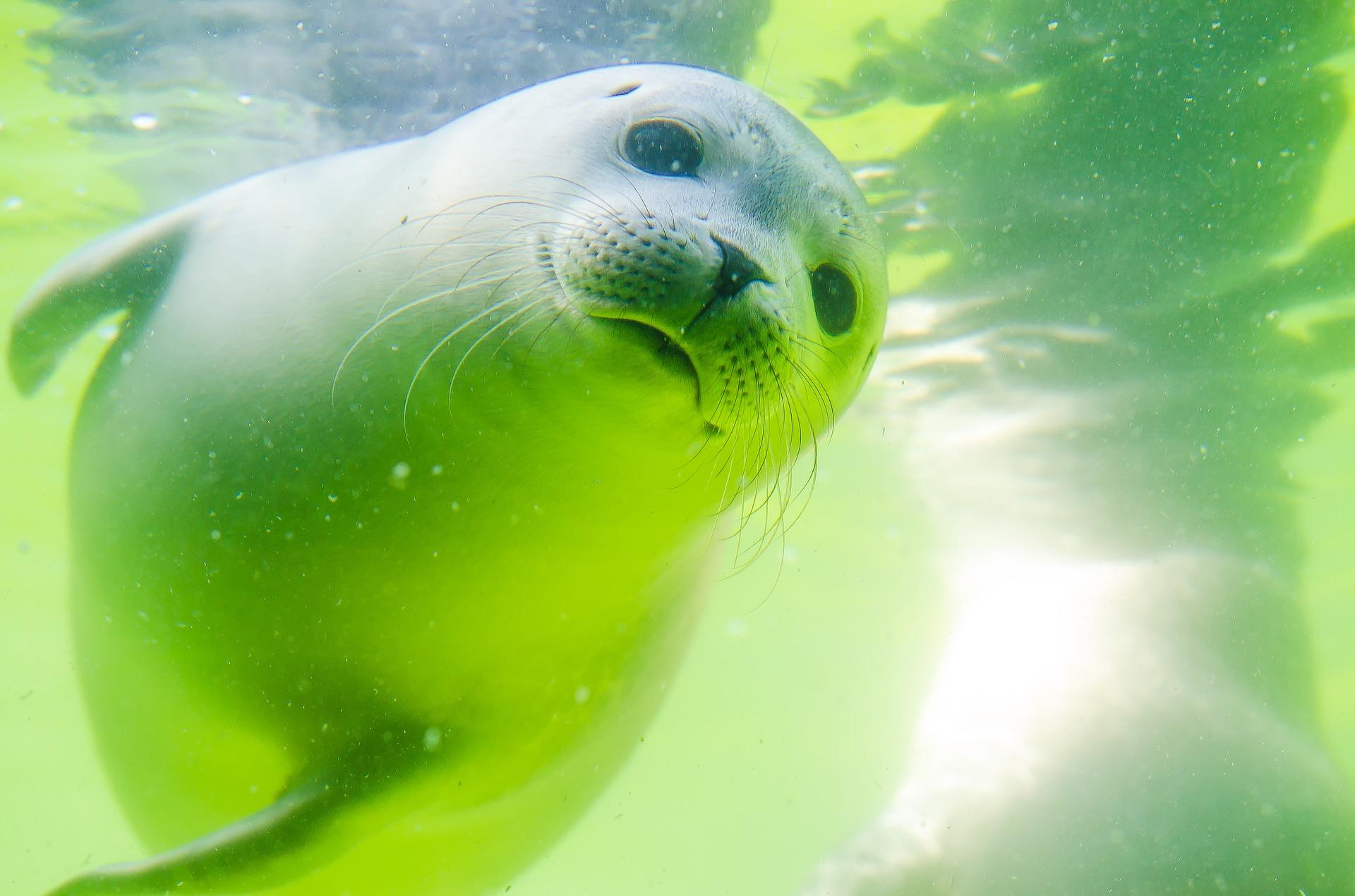 neglected seal covered in seaweed sparked outrage