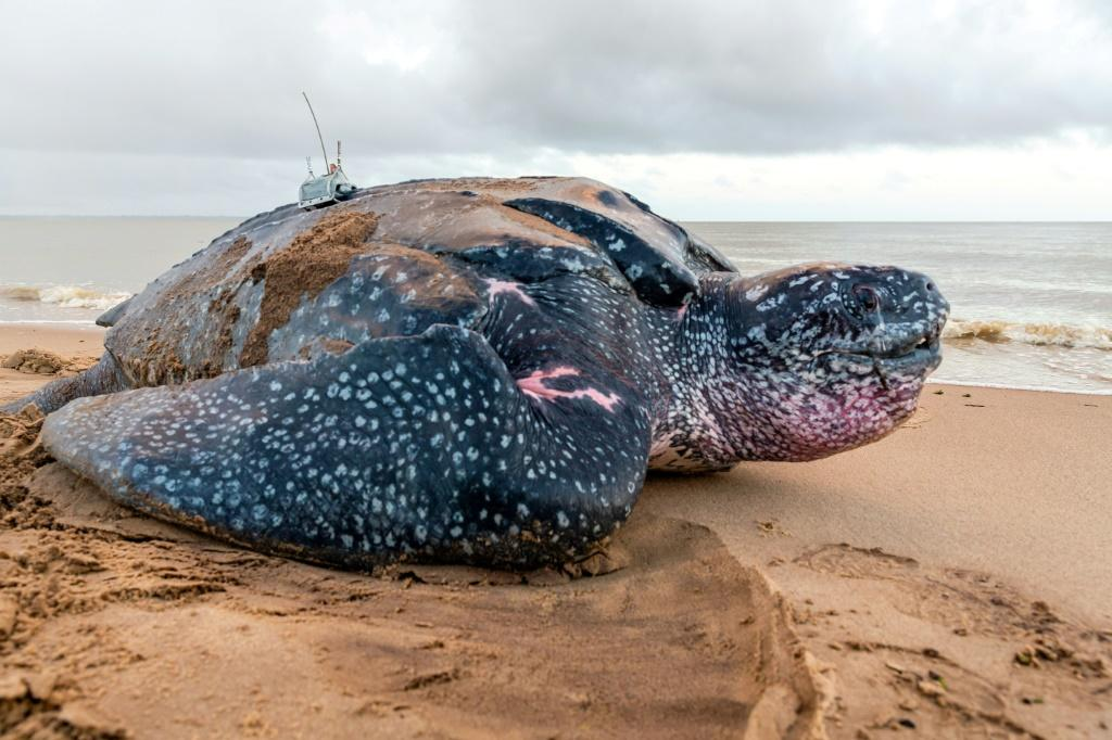 Leatherback sea turtles can weigh up to 600 kilogrammes